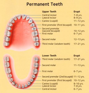 permanent-teeth-eruption-schedule