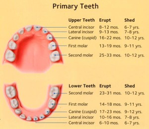 primary-teeth-eruption-schedule